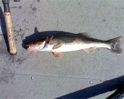 Lake Wisconsin Sauger